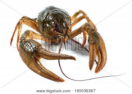 large living crayfish as a fine trophy on sport fishing