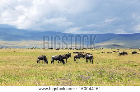 Herds of zebra and blue wildebeest grazing in the savannah at Ngorongoro Crater Conservation Area, Tanzania. East Africa