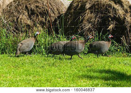 Guinea-fowl four birds closeup rural farmlands .