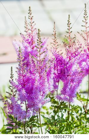 Blooming pink Astilba Arends Amethyst ( lat. Astilbe arendsii