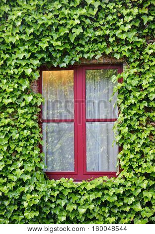 Close up shot of a window surrounded with green leaves of a creeper vine plant