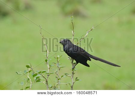 Close up of a Groove-billed ani (Crotophaga sulcirostris) in an open field