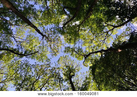Looking up through a canopy of trees to a blue sky