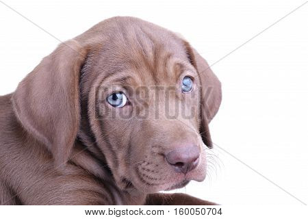 Close up of a brown pup with blue eyes isolated on a white background