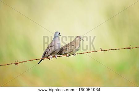 A couple of Rudy ground Doves perched together on a barb wire cable with a beautiful grass background