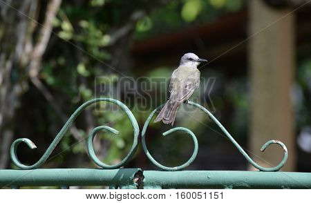 Tropical Kingbird perched on a home's iron gate