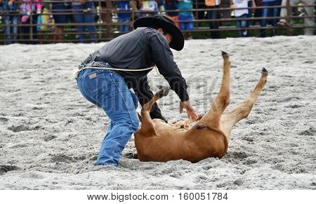 Close up of a cowboy bringing down a calf in a rodeo event