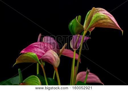 Close-up of multicolor anthurium flamingo flower. Macro photography of nature.