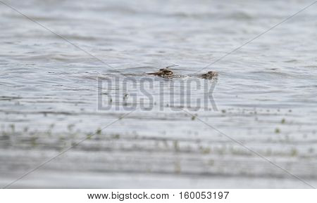 Large Crocodile partially submerged in the Chagres river waters in the Panama Canal area with a dragonfly posed on top of its head