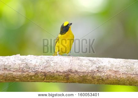 Young Yellow-crowned euphonia male on a tree branch