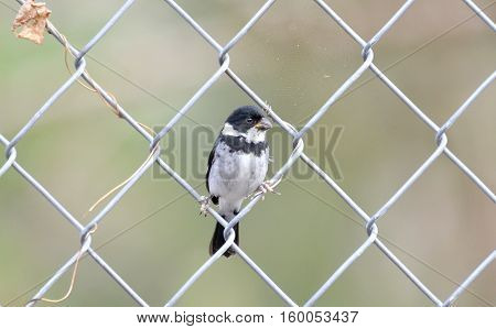 Variable Seedeater perched on a chain link wire fence