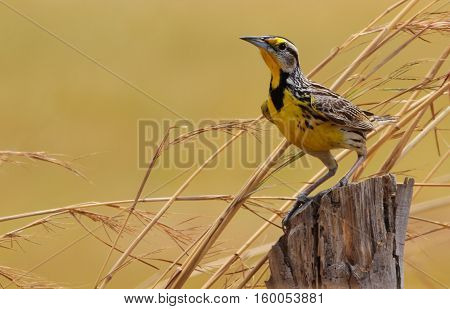 Beautiful Eastern Meadowlark male perched on a fence post in a pasture field in Central Panama