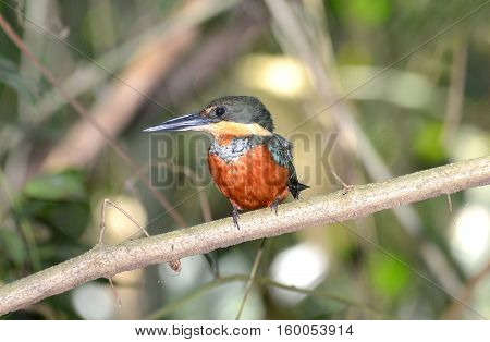 Beautiful Green and Rufous Kingfisher perched on a branch near a creek in the Tropical Rain Forest of Panama