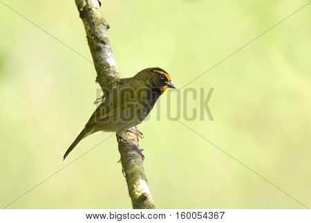 Male yellow-faced grassquit bird perched on a tree branch