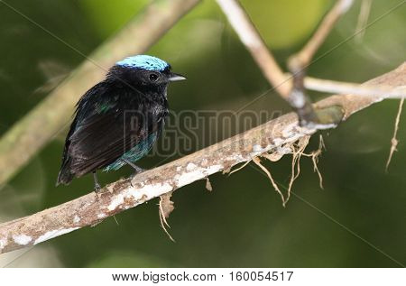 Little Blue-Crowned Manakin male perched on a tree branch