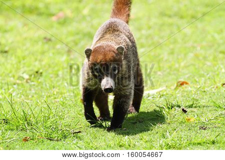 Young Coati walking towrds the camera in the forests of Panama