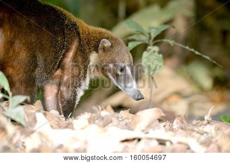 Adult Coati forraging for food in the rain forest of Panama