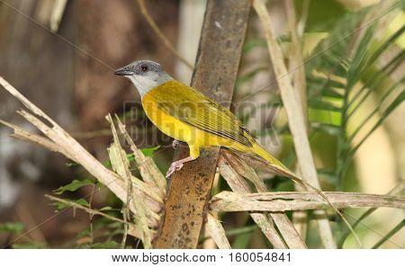 Grey-headed Tanager (Eucometis penicillata) perched on a palm tree branch