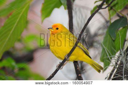 Beautiful Orange-fronted Yellow Finch male perched on a tree branch early in the morning around the city of Medellin in Colombia.