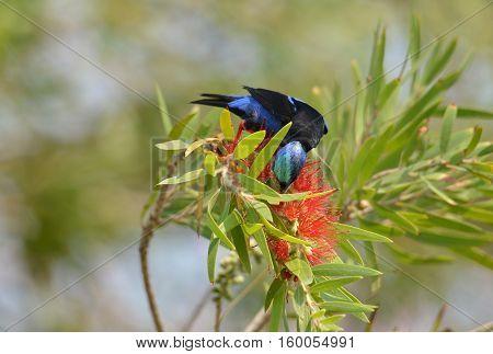 Red-legged Honeycreeper male feeding on a bottle brush flower