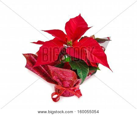 Christmas symbol beautiful red poinsettia flower (Euphorbia pulcherrima) isolated over white.