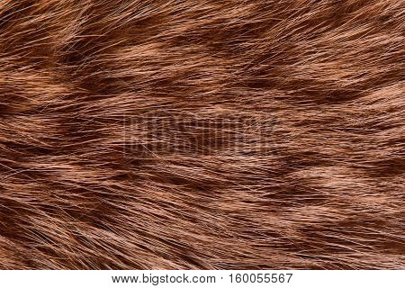 Raccoon fur animal closeup. Raccoon and his fur closeup.