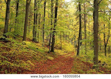 Autumn beech forest after the rain, October, Poland.