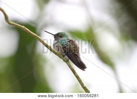 Young hummingbird perched on a thin tree branch with a blurred background