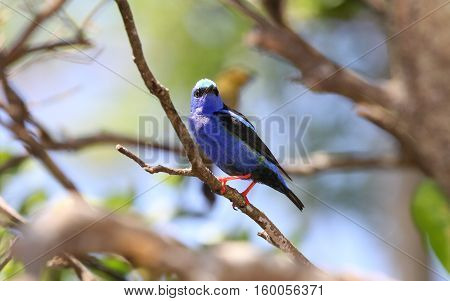 Beautiful Red-legged Honeycreeper (Cyanerpes cyaneus) maleperched on a tree branch