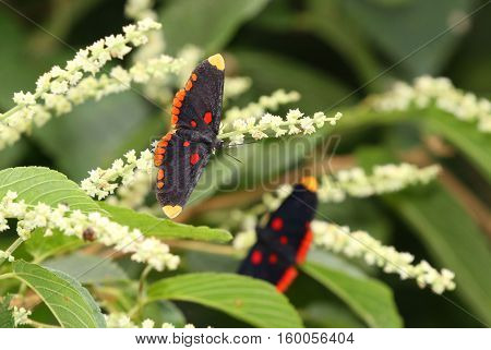 Beautiful Red Bordered Pixie butterfly feeding in a flowering tree