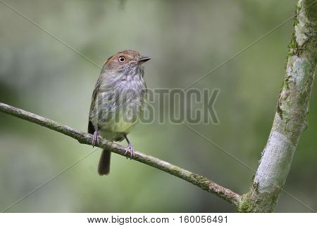 Scale-crested Pygmy Tyrant perched on a tree branch