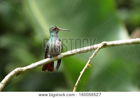 Rufous-tailed Hummingbird perched on a tree branch