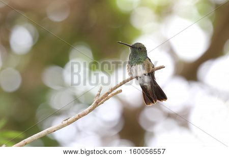 Immature Snowy-bellied Hummingbird perched on a small tree branch