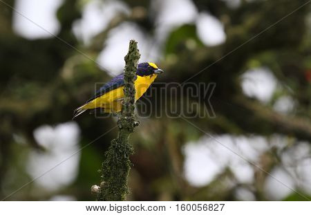 thick-billed euphonia (Euphonia laniirostris) male perched on a dead tree branch