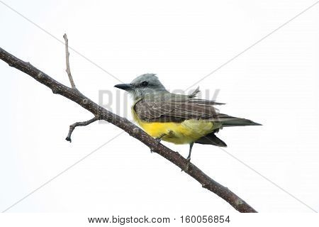 Tropical Kingbird (Tyrannus melancholicus) perched on a tree branch.