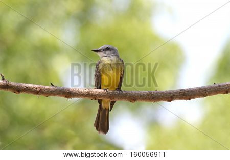Close up of a Tropical Kingbird perched on a tree branch with a nice bokeh in the background