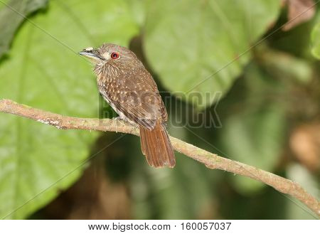 White-whiskered Puffbird perched on a tree branch showing his clear red eye to the camera and a bug on his beak