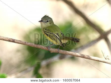 Yellow-olive Flycatcher on a tree branch inside the forests of Panama