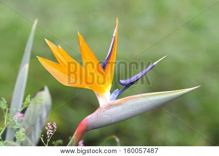 Beautiful Bird of paradise flower with a green natural background