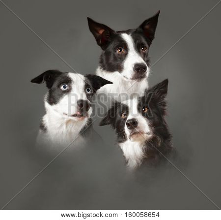 Three Border Collies arranged in a collage.