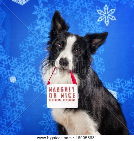 Border Collie holding a Christmas sign in his mouth.