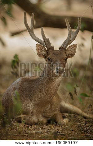 Timor deer male on komodo island in indonesia