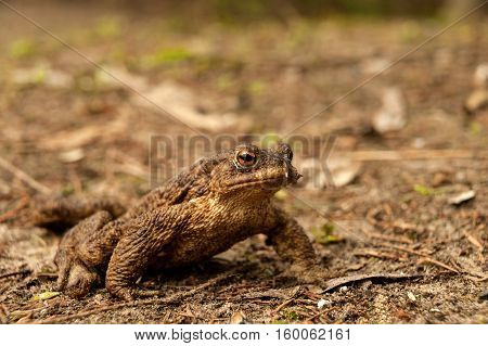 European Toad (Bufo bufo) sitting on the ground in early spring during mating season. Close horizontal view.