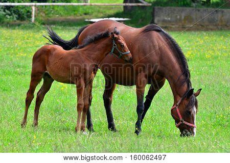 horse in a field, farm animals,here in Czech republic