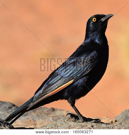 red-winged starling in Namib reserve nature park