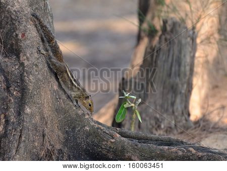 Indian palm squirrel (Three-striped palm squirrel Funambulus palmarum) at the tree. Goa India