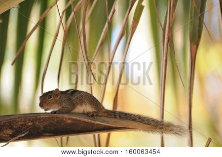 Indian palm squirrel (Three-striped palm squirrel Funambulus palmarum) at the palm. Goa India