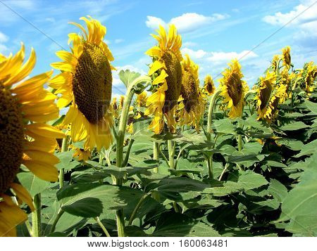 A sunflower field with a row of sunflower heads in full bloom.