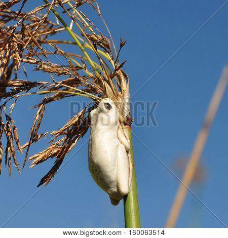 White reed frogs here in delta Okavango in Botsvana