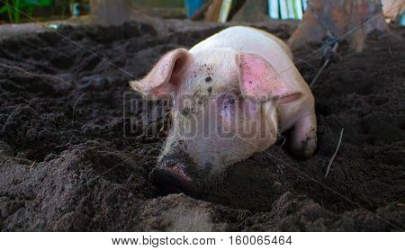 Pink pig with dirty snout digs the ground. Resting piglet on farm backyard. Village scene with funny pig. Big domestic animal. Cute pig portrait. Swine head close photo. Rural countryside animal image